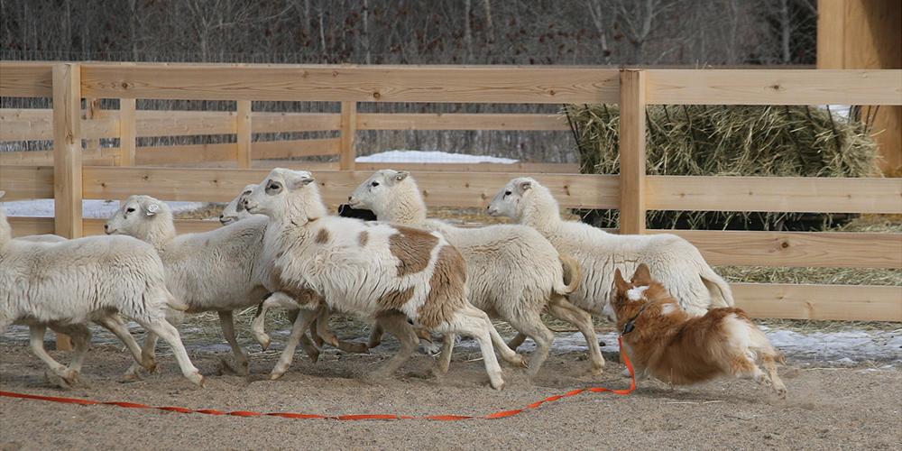 Herding 1