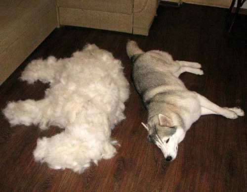 Husky & Undercoat Dog