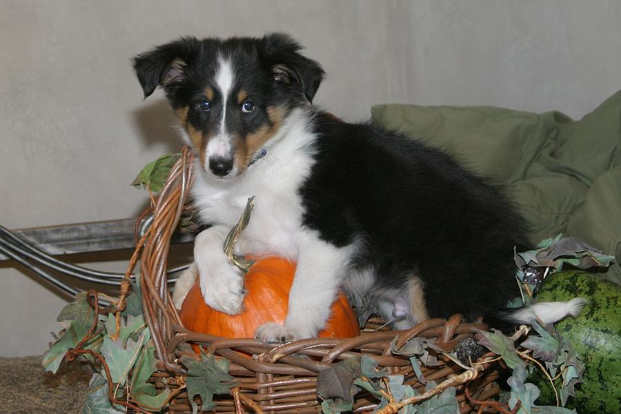 Sized Louie Pumpkin
