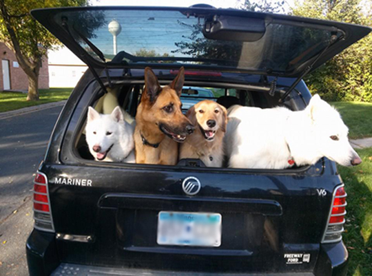 4 dogs in a car
