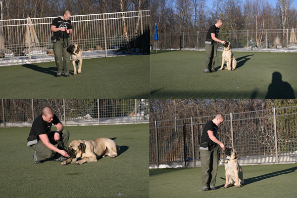 training w/ Mastiffs