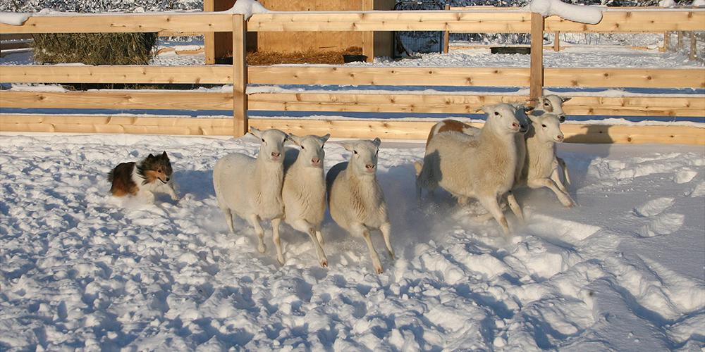 Herding 4
