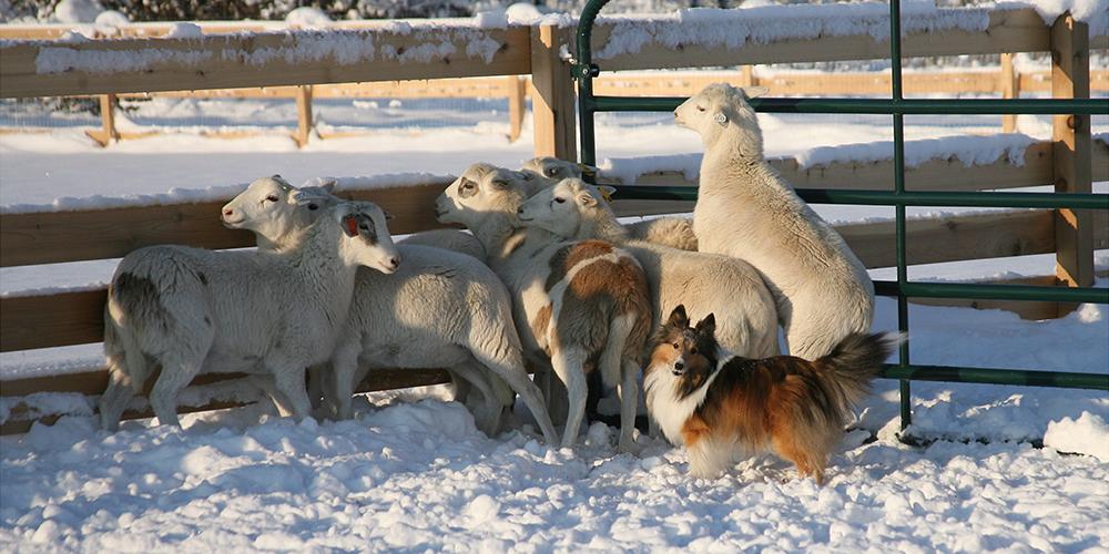 Herding 5